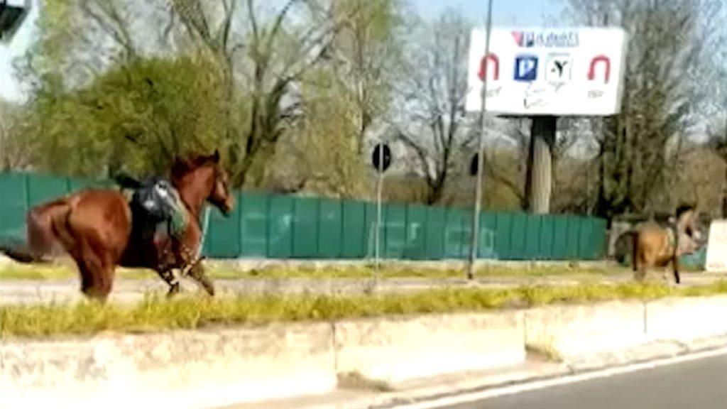 Milano: due cavalli al galoppo su viale Forlanini